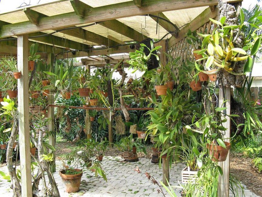 Вынесение орхидей на открытый воздух для стимуляции цветения.