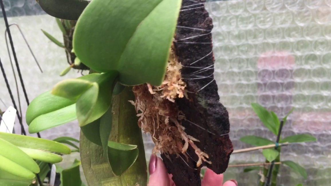 Орхидея на блоке, сделанном из куска коры. Листья направлены вниз.