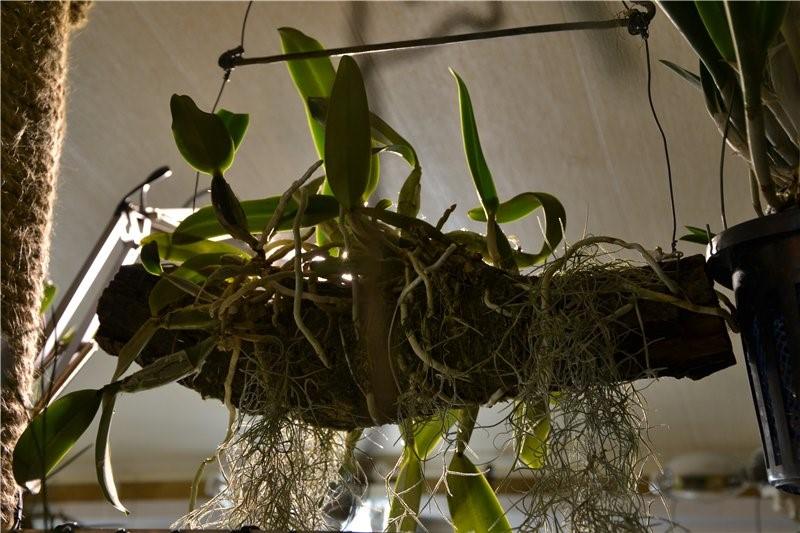 Орхидея на подвешенной коряге