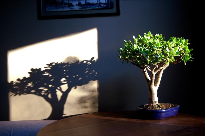 Денежные дерево в домашних условиях