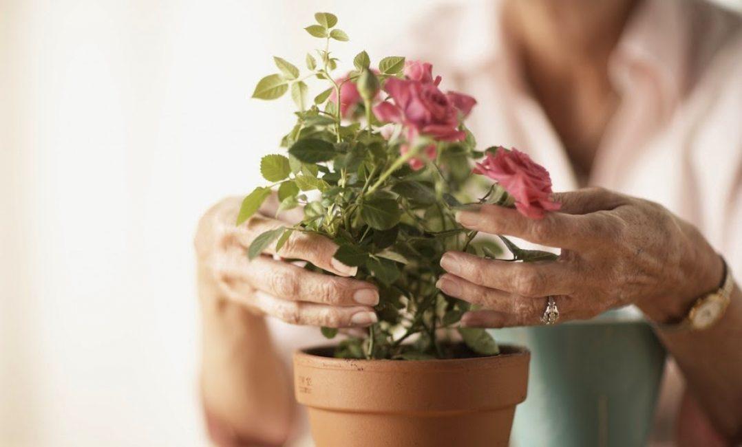 женщина ухаживает за розой в горшке