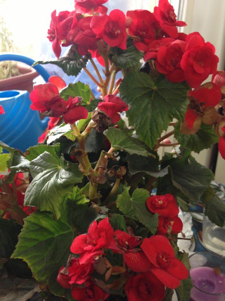 Комнатный цветок бегония: уход и размножение в домашних
