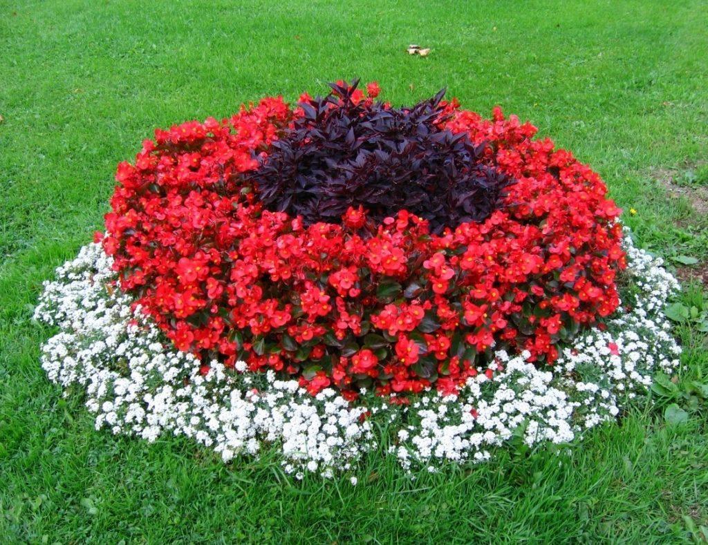 Низкорослые цветы для клумбы цветущие все лето многолетники