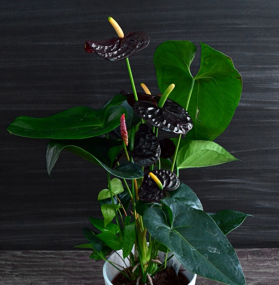 Комнатный цветок шоколадница фото
