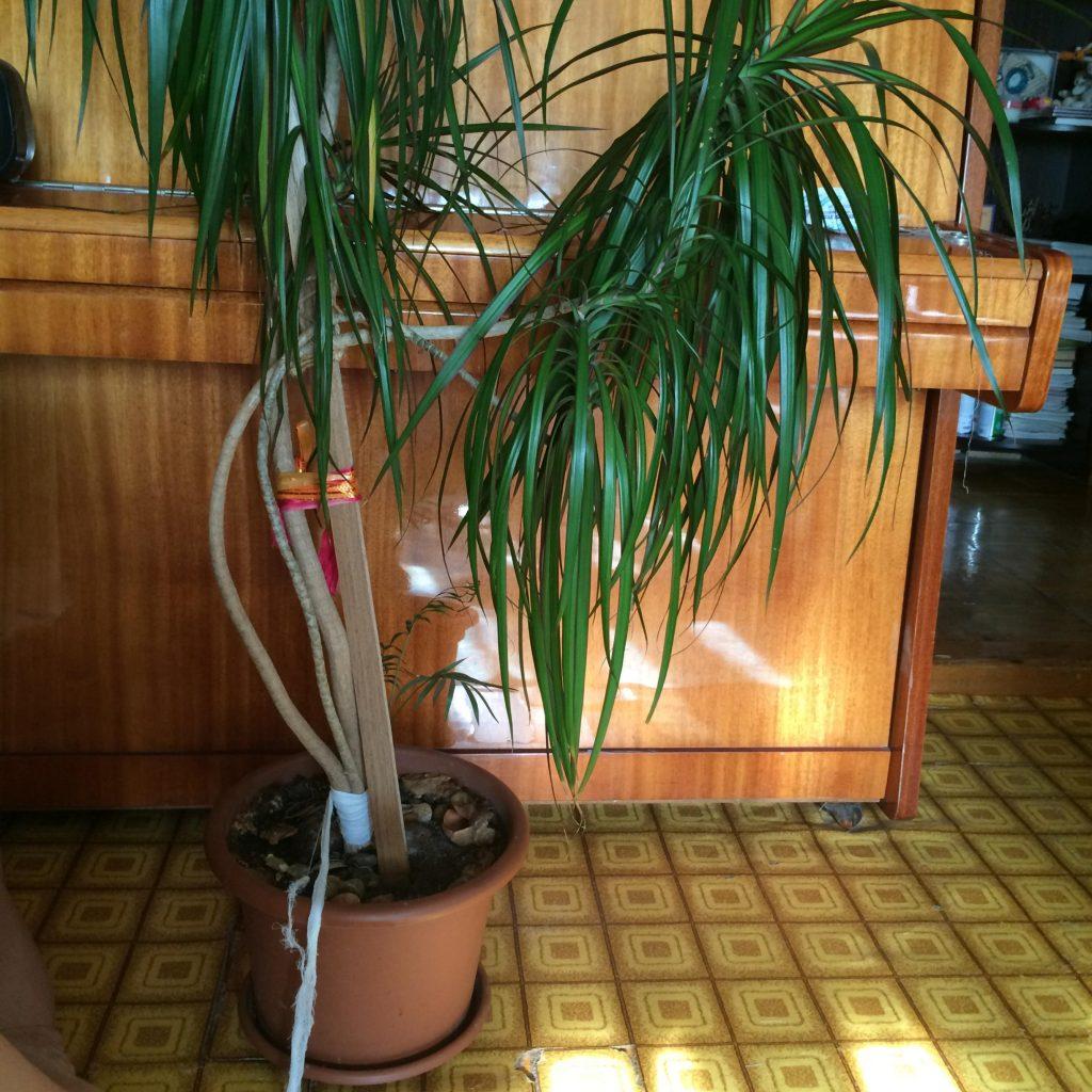 Домашняя драцена уход в домашних условиях фото пошагово