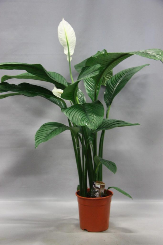 Фото цветка спатифиллум и уход