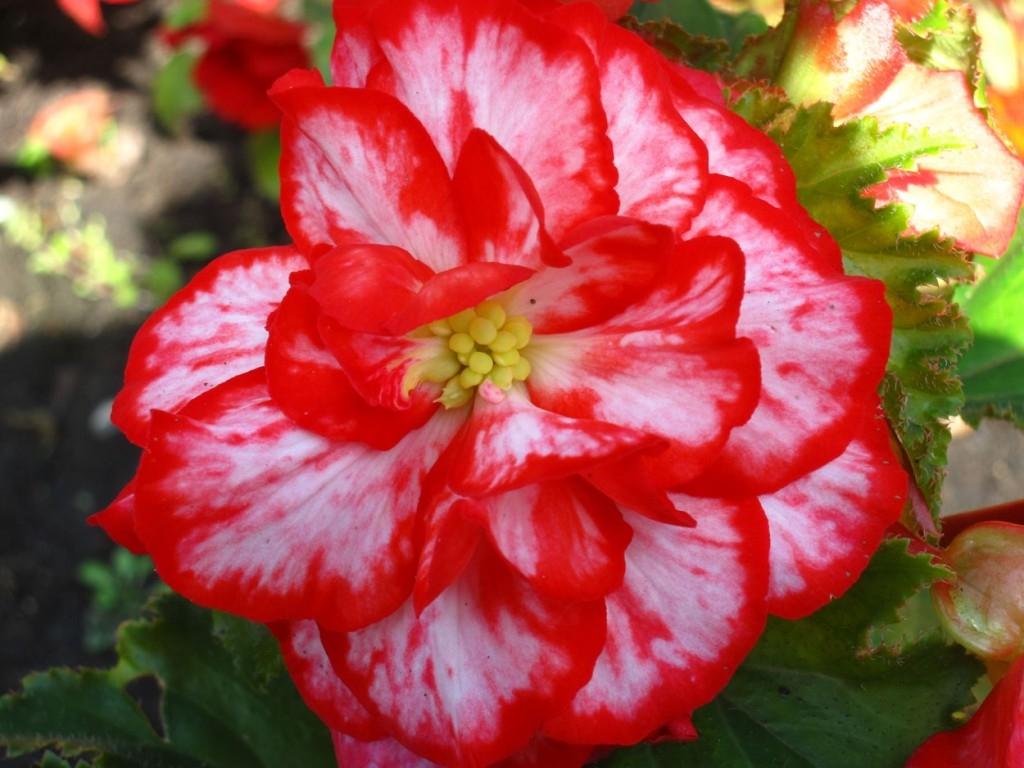 Бегония махровая розовая уход выращивание 22