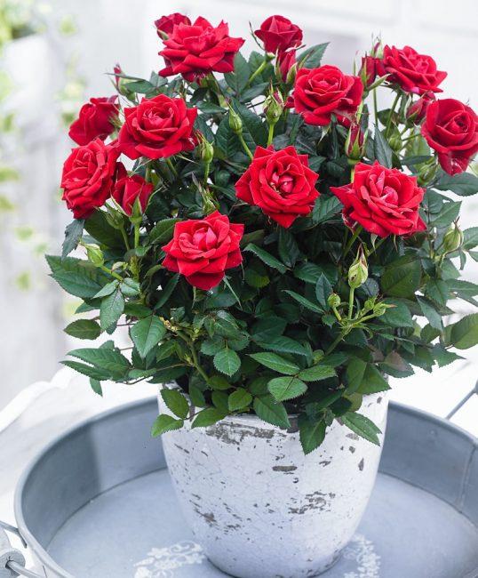 Комнатная роза полиантовой группы