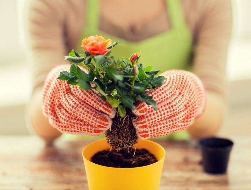 Посадка молодого растения