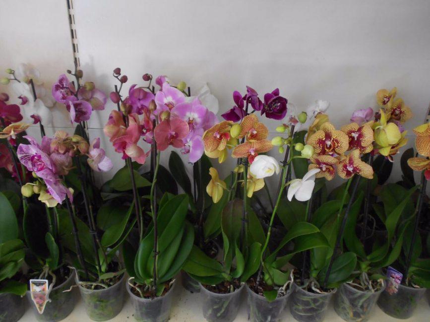 Обилие выбора орхидей