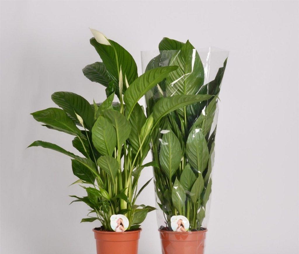 Уход за домашними цветами в домашних условиях спатифиллум