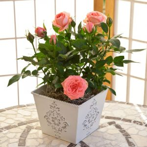 Роза домашняя (комнатная) в горшке: как ухаживать за ней после покупки в домашних условиях? (20+ Фото & Видео) +Отзывы