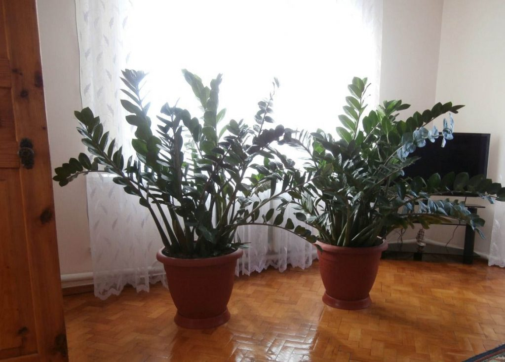 Горшок для долларовое дерево в домашних условиях 403