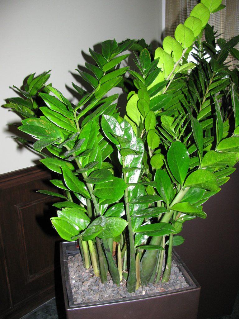 Домашние цветы в виде дерева фото и название