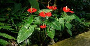 Антуриум (Anthurium): виды и сорта, посадка и уход в домашних условиях, размножение, пересадка | (Фото & Видео)