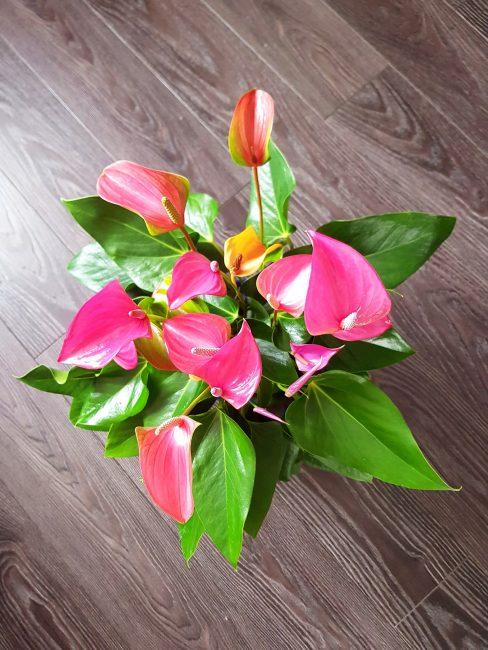 Антуриум - экзотическое разноцветье в домашних условиях: виды, размножение и уход (Фото {amp}amp; Видео)  Отзывы