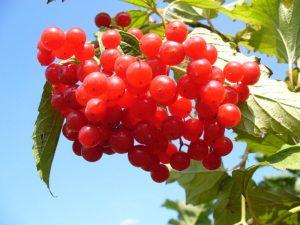 Ягода Калина Красная: и ее полезные свойства и противопоказания, а так же 13 народных рецептов (Фото & Видео) +Отзывы