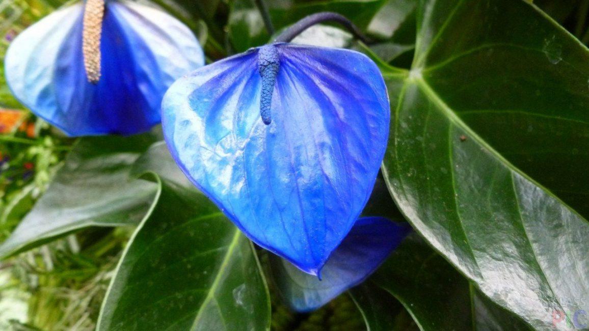 Рис. 1 – Антуриум синий, считающийся редким сортом