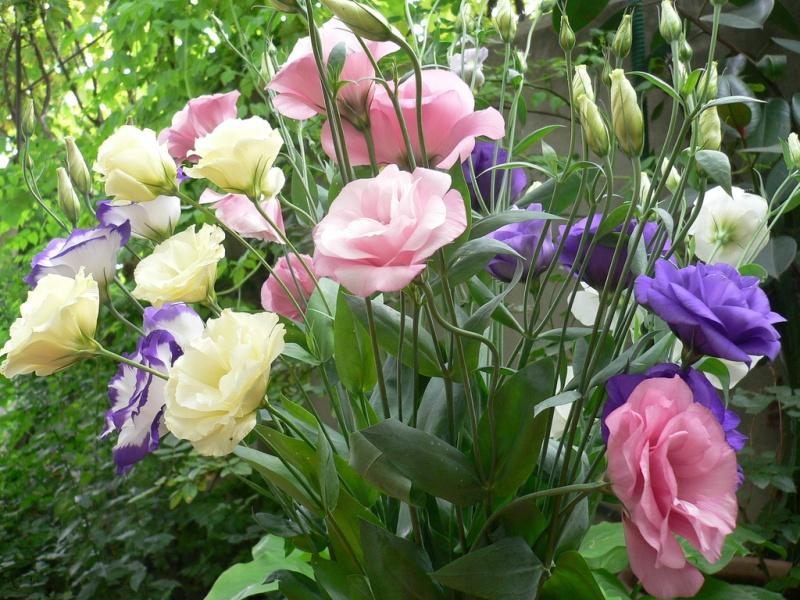 Ирландская роза в саду