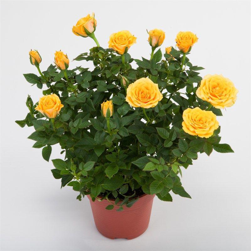 Рис.2 Роза комнатная, ремонантной группы