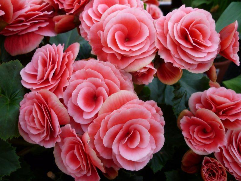 Бегония - ничем не хуже роз