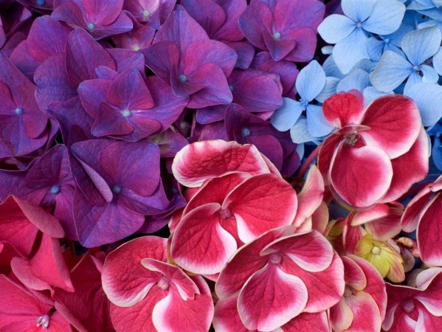 Цветок, меняющий окраску