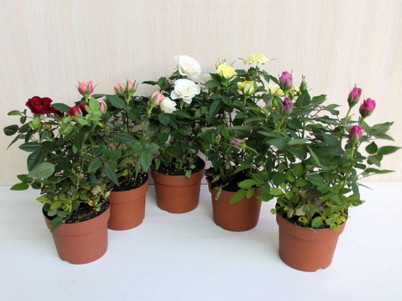 Рис.3 Бенгальские розы для комнатного выращивания.