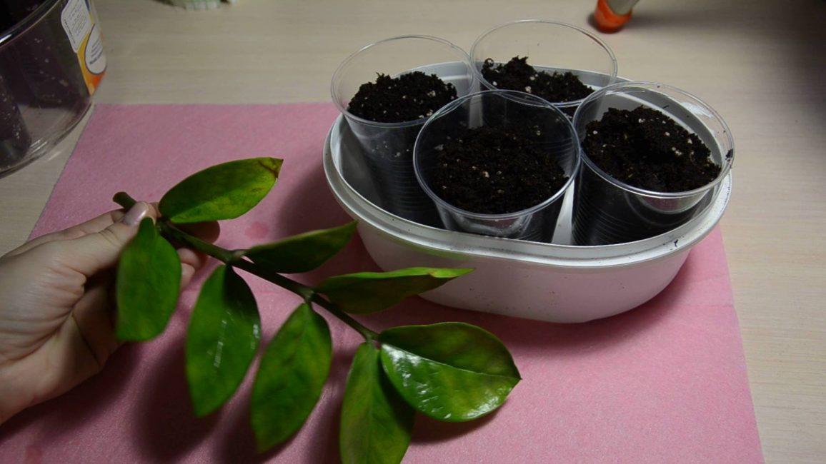 Лист замиокулькаса, подготовленный к размножению