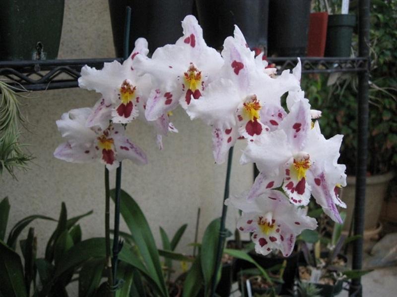Орхидеи одонтоглоссум
