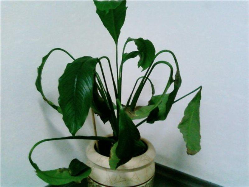 Увядшие листья спатифиллума говорят о необходимости полива