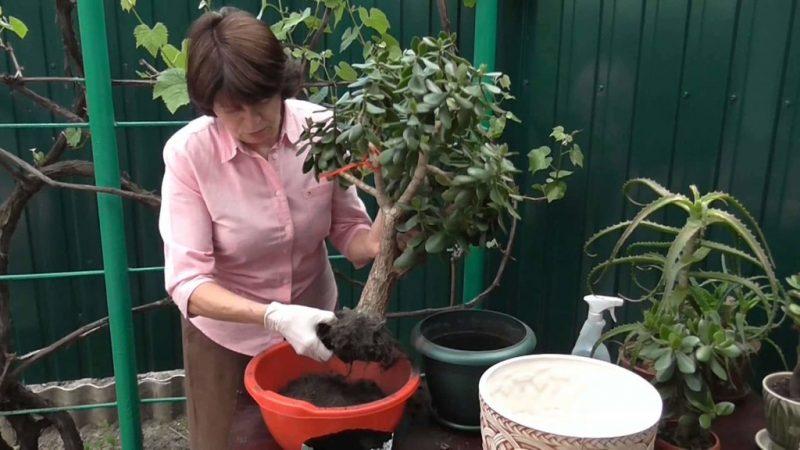 Процесс очистки корней от старой почвы во время пересаживания.