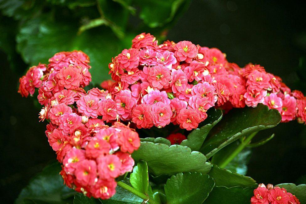 во время цветения каланхоэ