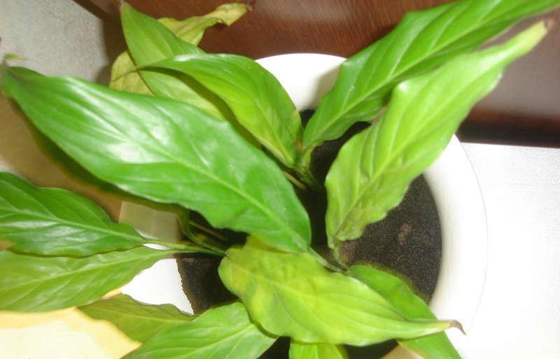 Листья спатифиллума желтеют. Возможно, растению не хватает влаги