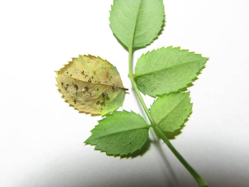 Паутинный клещ на листике комнатной розы.