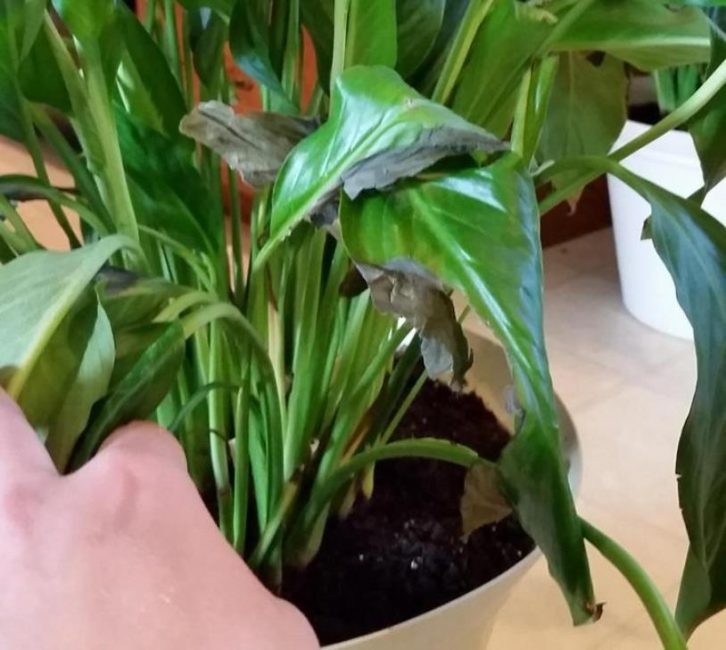 Почернение листьев у спатифиллума