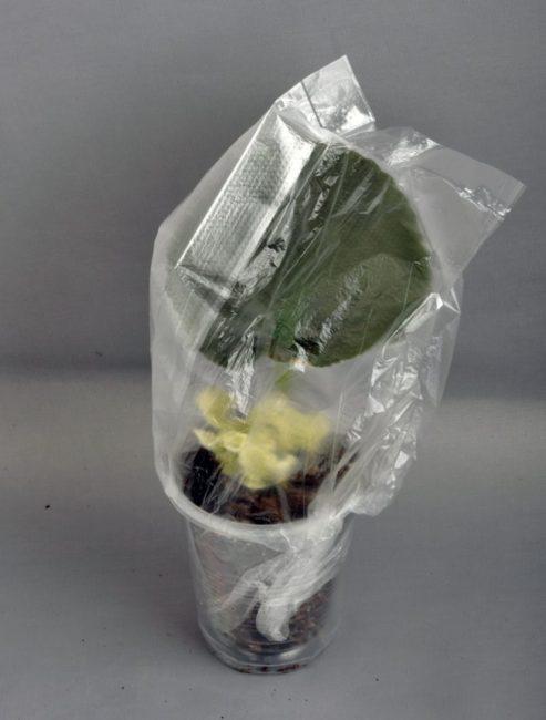 Выращивание фиалки из листа