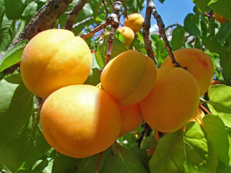 абрикос анансный