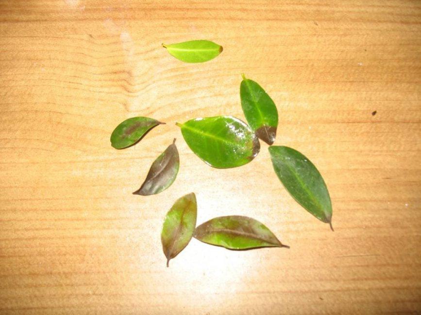 Опадение листьев из-за недостатка питания фикуса