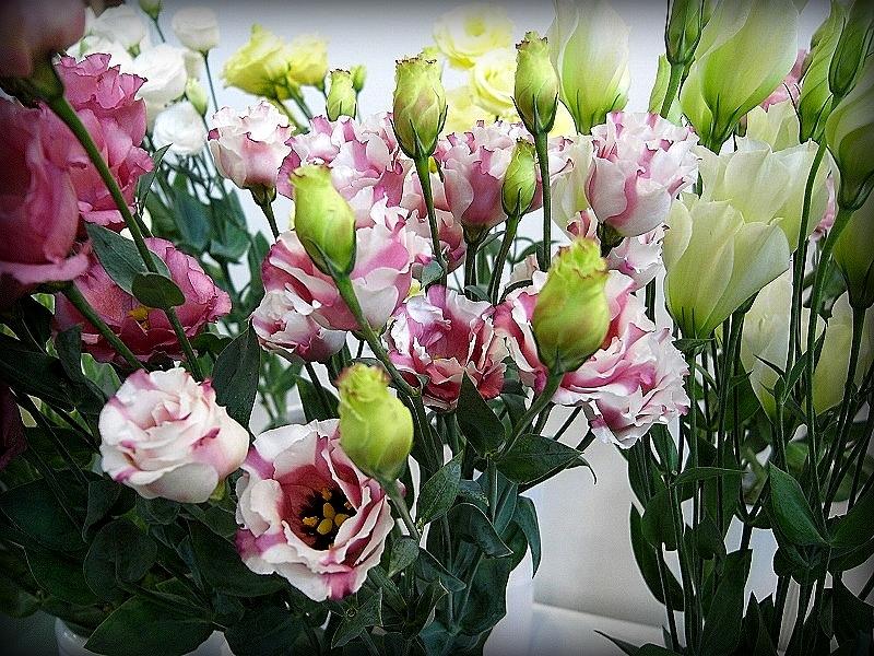 Бутоны на фоне распустившихся цветов представляют эффектное зрелище