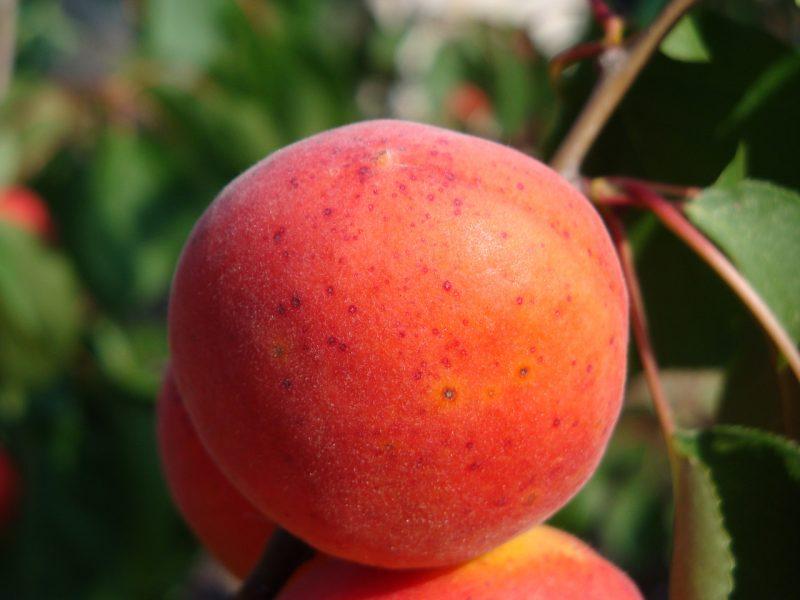 Мелитопольский поздний абрикос
