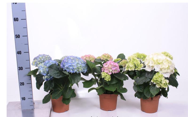 Домашние сорта по красоте не уступают садовым!