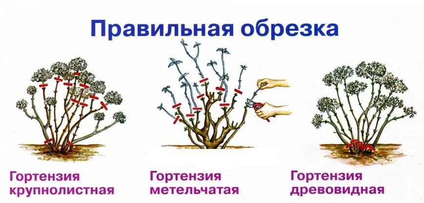 схема правильного груминга для гортензии: