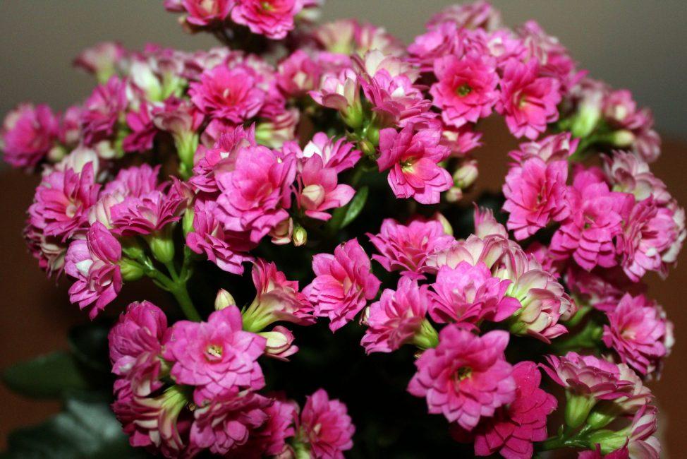 Цветок Каланхоэ (120  Фото & Видео) - уход в домашних условиях, пересадка, размножение, полезные свойства  Отзывы