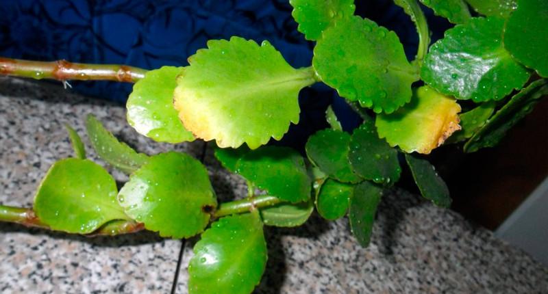 Засохшие листья коланхоэ