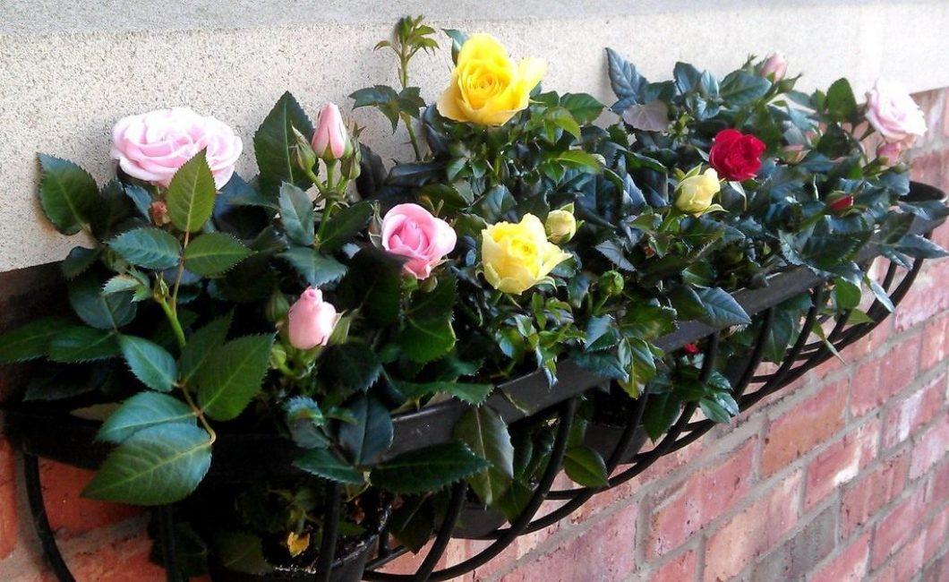 розы домашние в горшках на подоконнике