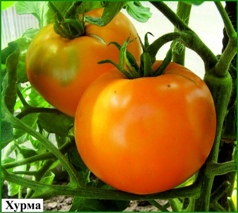 томат хупма