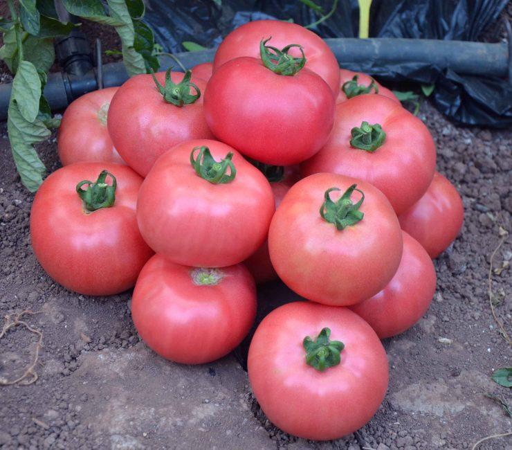 розовый пинк томат