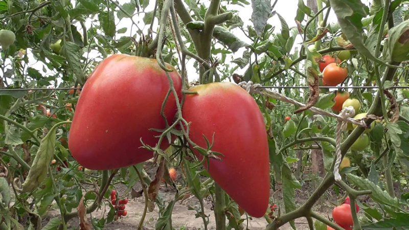 Мазарини томат