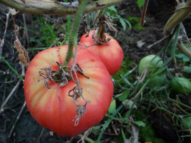 томат роза