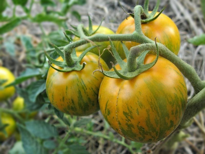 томат боцман